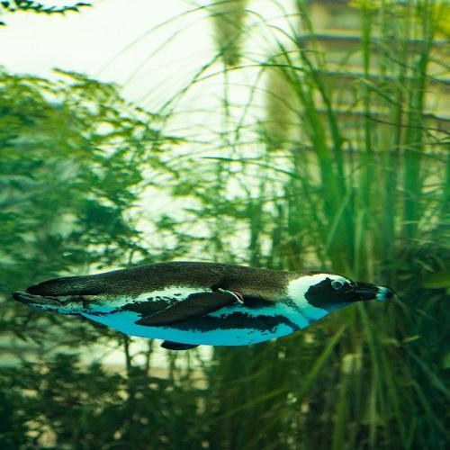 サンシャイン水族館 ペンギン
